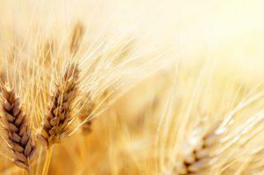 Che ne sai tu di un campo di grano? Ecco dove vengono coltivati i migliori grani italiani
