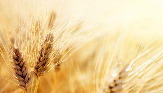 grano filiera